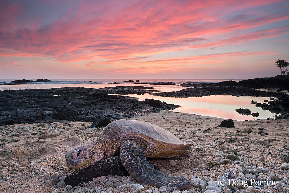 green sea turtle or honu, Chelonia mydas, resting on beach at sunset, Kailua Kona, Hawaii ( the Big Island ), Hawaiian Islands( Central Pacific Ocean )