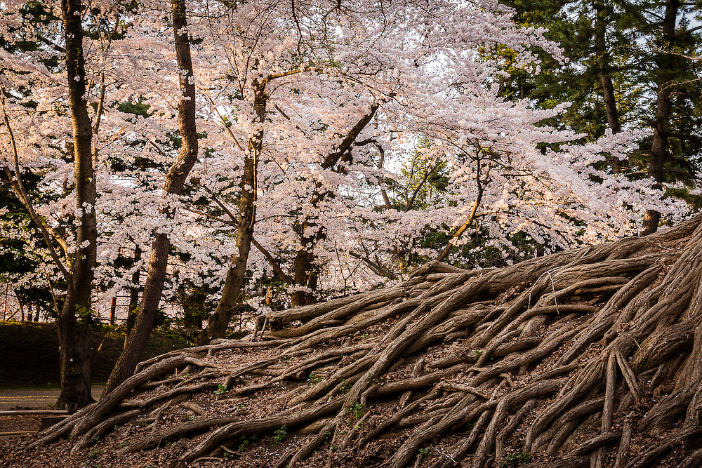 The roots of one of the oldest trees in the park, with a row of cherry trees nearby