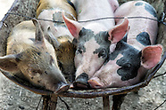 Holguin Pigs...life and death