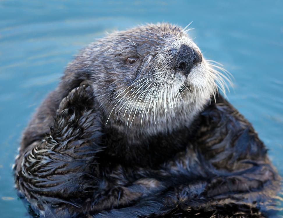 Alaska; Older male Sea Otter (Enhydra lutris) grooming on a winter day, Kachemak Bay, Homer.