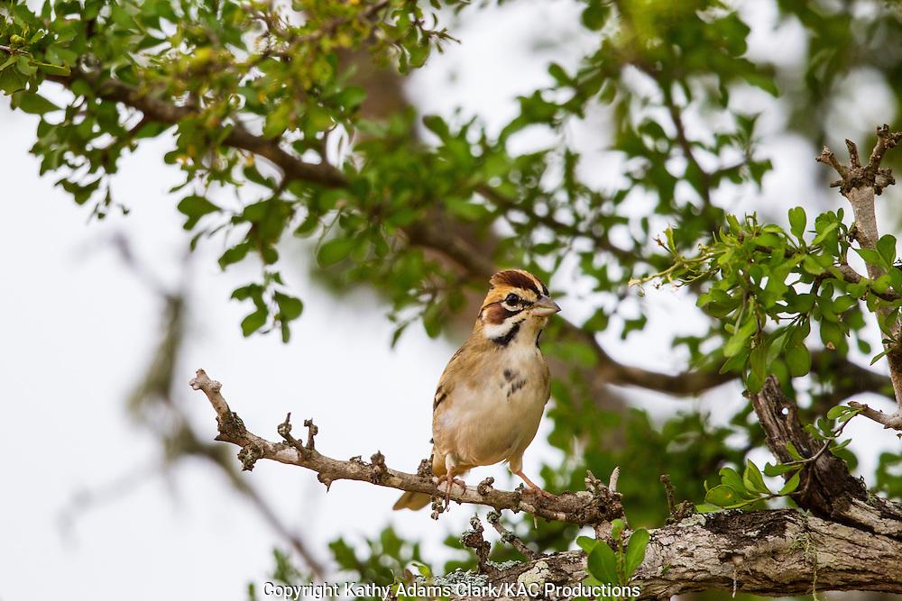 Lark sparrow, Chondestes grammacus, San Jose Ranch, near Laredo, Texas.