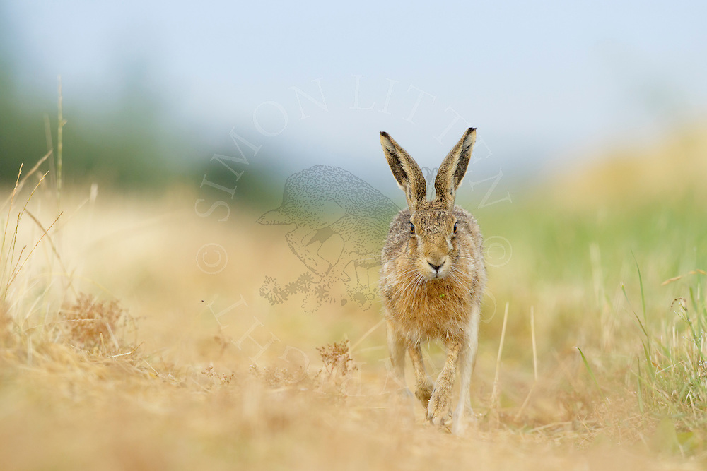 European Hare (Lepus europaeus) adult running along farmland track, South Norfolk, UK. July.
