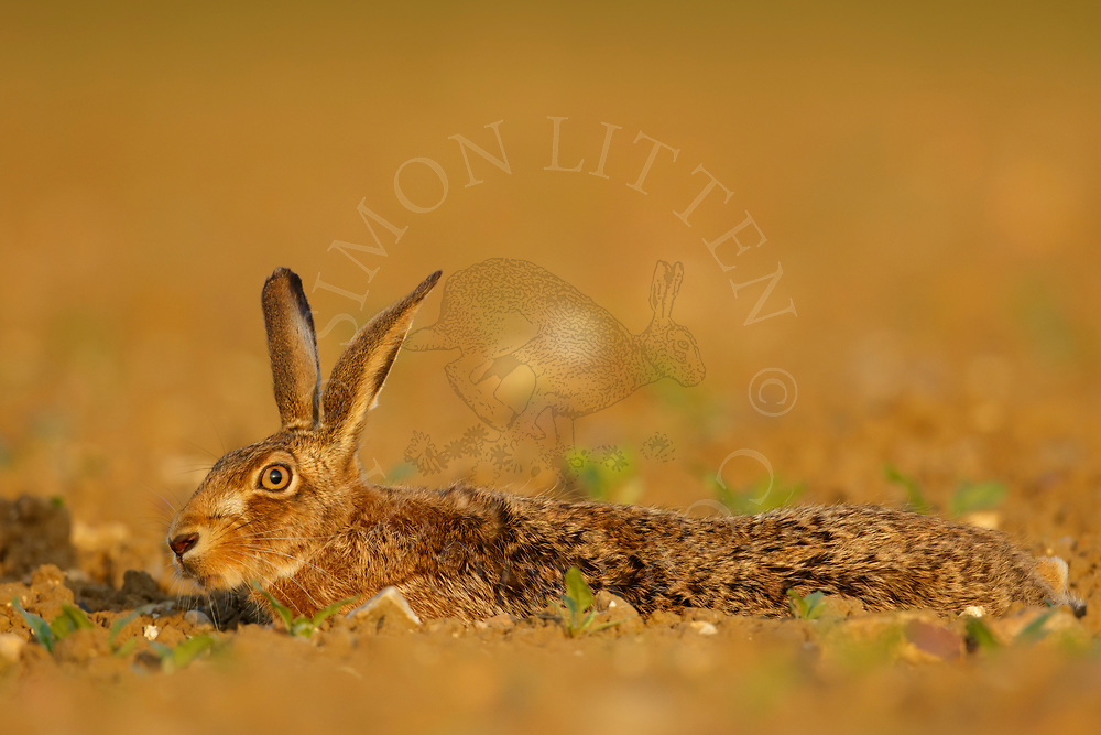European Hare (Lepus europaeus) adult at rest in emerging sugar beet crop, South Norfolk, UK. May.