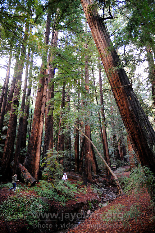 The colossal redwoods of Big Sur, part of the Monterey Bay coastline area.