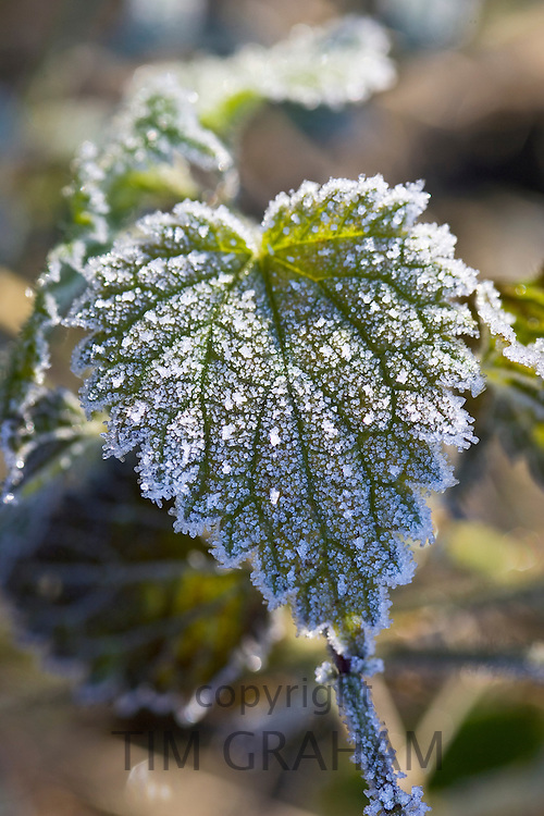 Hoar frost covered nettle leaf, Oxfordshire, UK