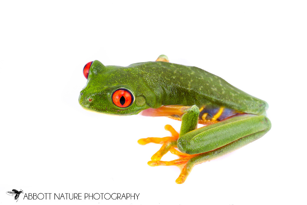 Red-eyed Tree Frog (Agalychnis callidryas)<br /> BELIZE: Cayo District <br /> Ian Anderson's Caves Branch Lodge near Armenia<br /> 7-Sep-2014<br /> J.C. Abbott &amp; K.K. Abbott