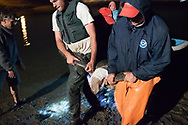 "Garrett Lemons and program leader Jeff Seminoff each hold a front flipper as a team from the National Marine Fisheries Science Center in La Jolla, Calif., carries a green sea turtle known as ""Stumps"" to a field research site on the shore of San Diego Bay. The turtles have been harder to catch since the South Bay Power Plant closed in 2010 and stopped pumping warm water into the turtles' habitat. ""Everything's going to tweak right now, or actually it's going to revert back to normal I think. It has been tweaked for the last 50 years,"" Seminoff said."