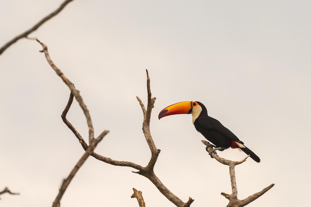 Toecan on a branch, Pantanal, Brazil.