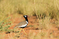 Adult male Northern Black Korhaan, Kgalagadi Transfrontier Park, Northern Cape, South Africa