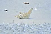 Polar bears (Ursus maritimus)<br />Churchill<br />Manitoba<br />Canada
