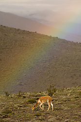 South America, Ecuador, wild vicuna (Vicugna vicugna) and rainbow on Mt. Chimborazo (the highest peak in Ecuador at 6310m)
