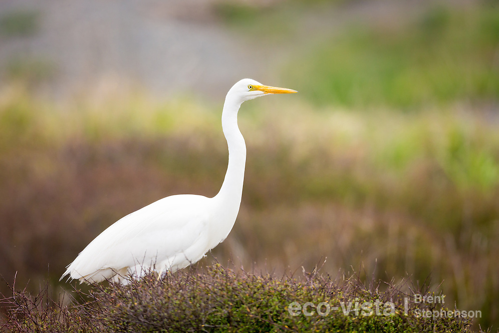 A great egret or white heron (Ardea alba modesta) in non-breeding plumage, but with breeding plumes starting to come through on its back, perches on the top of a bush. Muddy Creek, Hawkes Bay, New Zealand. September.
