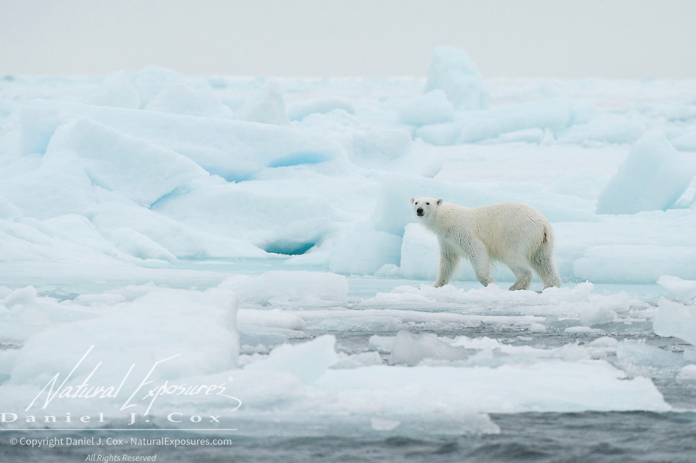 Polar bear out on the sea ice near Svalbard, Norway.