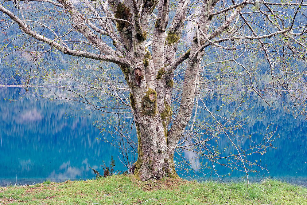 early spring red alder tree along the banks of Cresent Lake, Olympic Nation Park, WA.