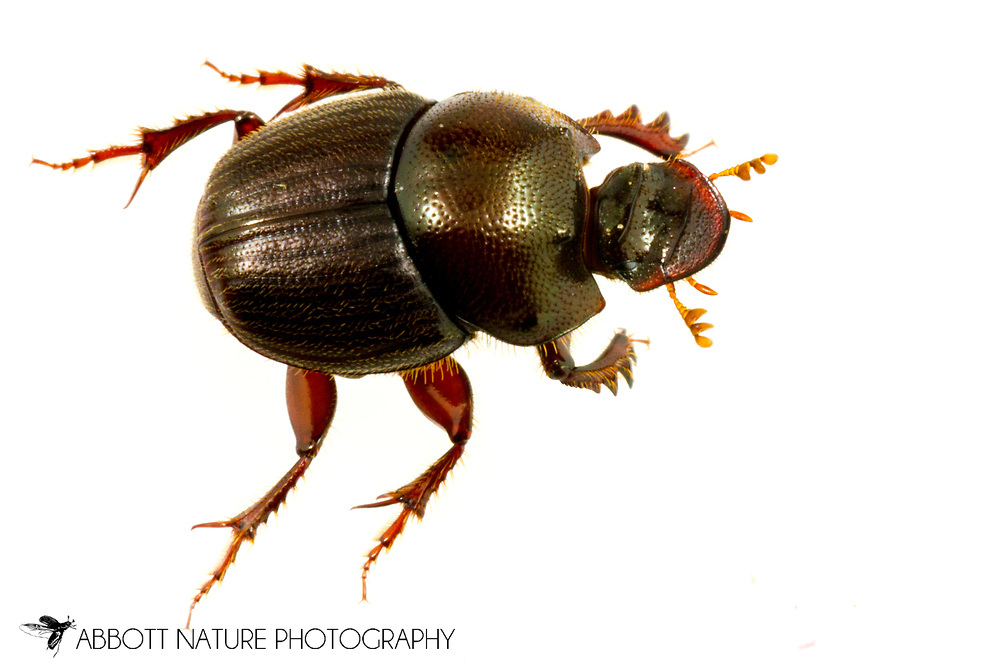 Scooped Scarab (Onthophagus hecate) - female<br /> United States: Alabama: Tuscaloosa Co.<br /> Tulip Tree Springs off Echola Rd.; Elrod<br /> 31-May-2017<br /> J.C. Abbott #2955