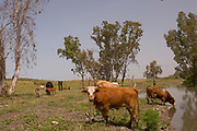 free grazing cattle in a nature park. Cattle grazing helps prevent the spread of wild fires as there is less burning material on the forest ground