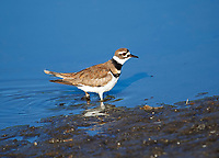 Killdeer (Charadrius vociferus) searching for food on edge of Lake Chapala, Jocotopec, Jalisco, Mexico