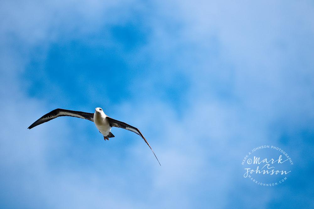 Flying Laysan Albatross, Kilauea National Wildlife Refuge, Kauai, Hawaii, USA