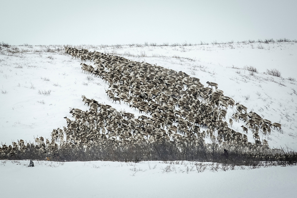 The herd of about 2,000 reindeer was brought from Scandinavia to the Mackenzie Delta many years ago.