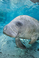 Florida manatee, Trichechus manatus latirostris, a subspecies of the West Indian manatee, endangered. An adult manatee floats in the warm blue freshwater of the springs. It has an expressive eye looking out. Vertical orientation with warming sun rays and beautiful blue water. Three Sisters Springs, Crystal River National Wildlife Refuge, Kings Bay, Crystal River, Citrus County, Florida USA.