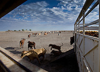 Brunette Downs Cattle Station is situated on the Barkley tablelands in Australia's Northern Territory. One of Australia's largest cattle stations..Transporting cattle with a three carriage road train.