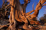 Bristlecone pines, Pinus longaeva, White Mountains, California