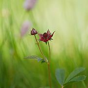 Marsh Cinquefoil_Potentilla palustris (Rosaceae), PNR du Livradois Forez; Etang de la Fargette, St. Germain L'Herm, Auvergne, France