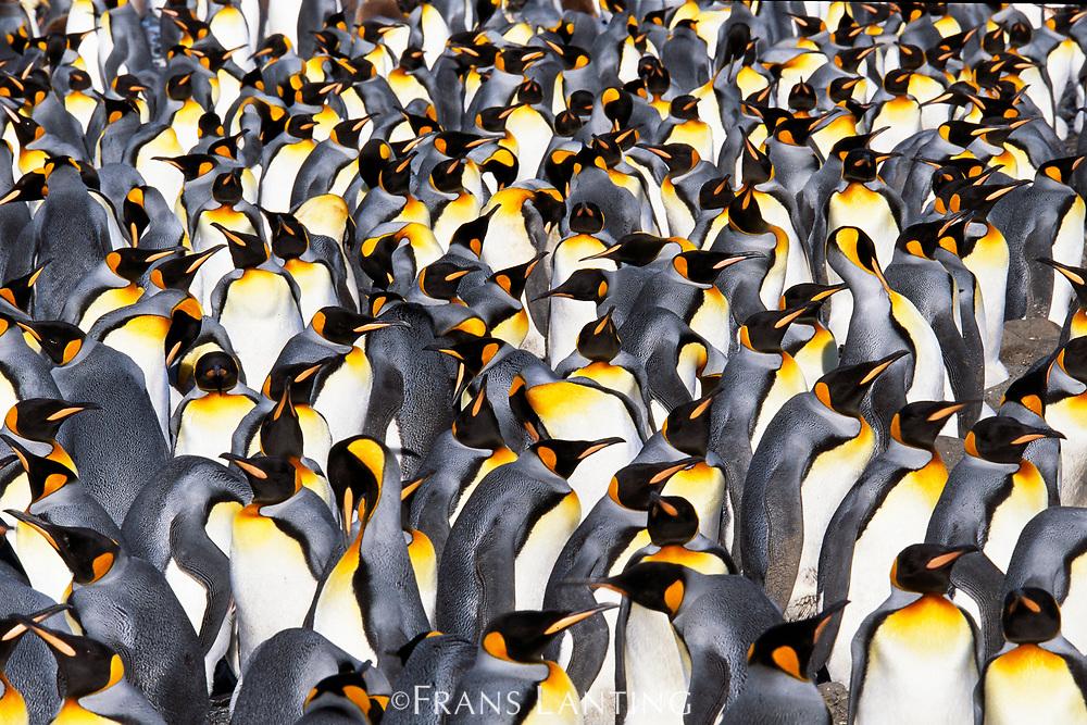 King penguin colony, South Georgia Island