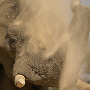 Elephant dust bathing.