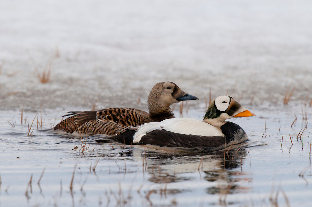 Spectacled eider pair (Somateria fischeri) on tundra pond near Barrow AK.