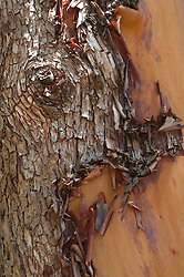 Madrona Tree  (Arbutus menziesii) Bark Detail, San Juan Island, Washington, US