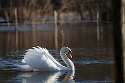© Licensed to London News Pictures. 01/02/2014. Titchfield, Hampshire, UK. A swan basking in sunshine whilst swimming through flood waters from the River Meon in Titchfield, Hampshire. There is wet and windy weather forecast for the UK today, 1st February 2014. Photo credit : Rob Arnold/LNP