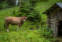 SEEFELD Tirol   Oostenrijk,  - koeien langs de baan  Golfclub Seefeld Wildmoos.    COPYRIGHT KOEN SUYK