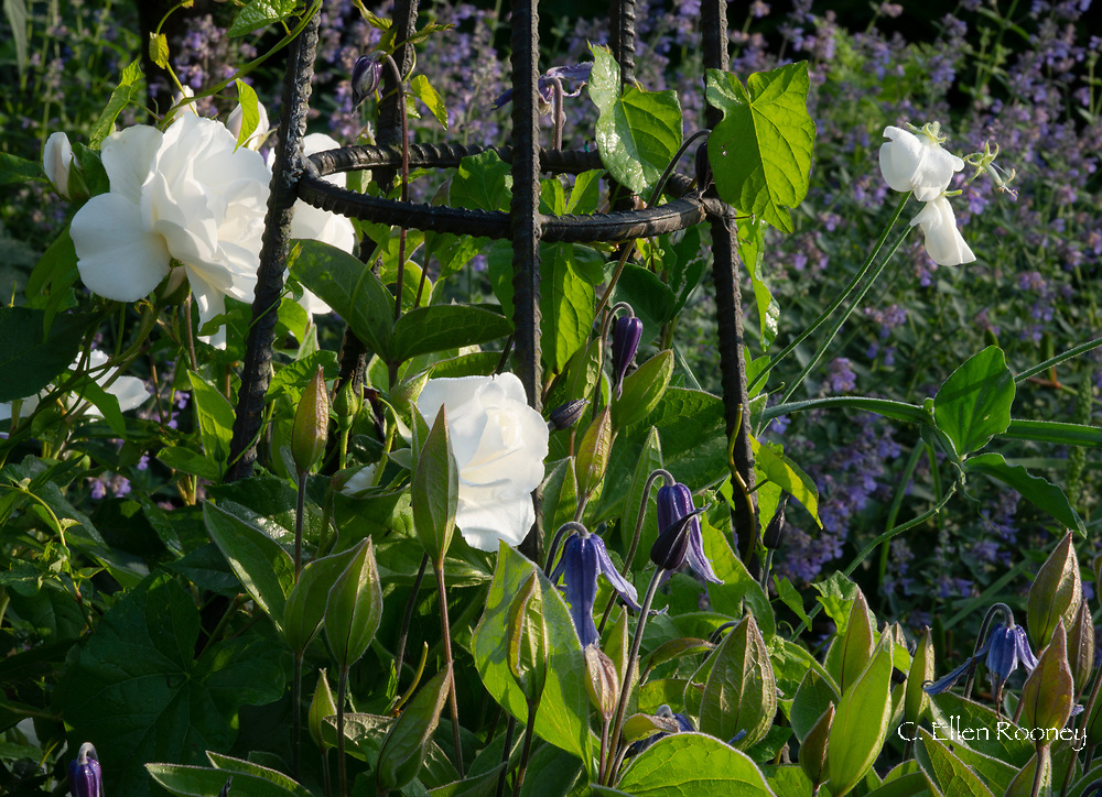 Rosa 'Iceberg' and Clematis in the blue and white garden at Cothay Manor, Greenham, Wellington, Somerset, UK