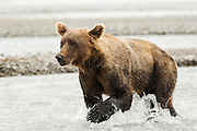 USA, Katmai National Park (AK).Brown bear (Ursus arctos) looking for salmon
