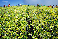 People working in tea plantation