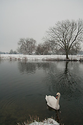 © under license to London News Pictures. 14/11/2010. Swan in River Great Ouse in Huntingdon Cambridgeshire. Photo credit : Jason Patel/LNP