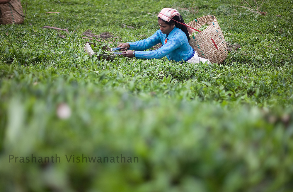 A worker picks tea leaves at a Tea estate in Conoor, India, on Friday May 21, 2010. Photographer: Prashanth Vishwanathan/Bloomberg News