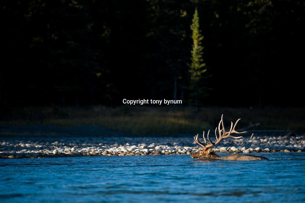 bull elk swimming river,