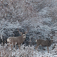 muledeer buck rutting doe