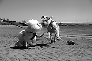 Black and White Photo of Two Dogs Playing at the Beach
