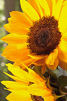 Fresh cut sunflowers