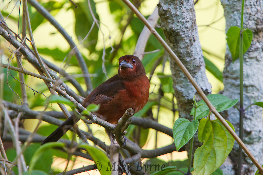 Silver-beaked Tanager (Ramphocelus carbo) in a tree at Jardim de Amazonia (Mato Grosso, Brazil)