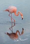 An American flamingo feeds in a brackish lagoon on Rabida island in the Galapagos archipelago of Ecuador.
