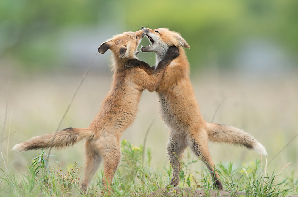 Red fox cubs play fighting above their den site, Missoula, Montana