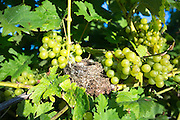 Bird's nest among green grapes and grapevine at Biddenden English Vineyards in Kent, England, UK