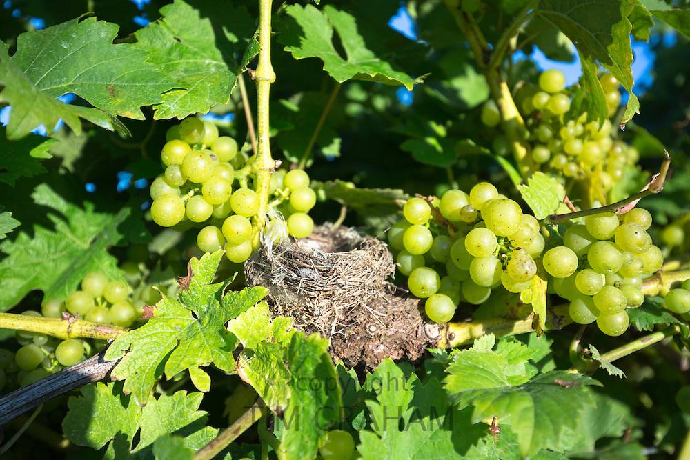Bird's nest among green grapes and grapevine at Biddenden English Vineyards in Kent, England, UK