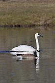 Wildlife: Swan