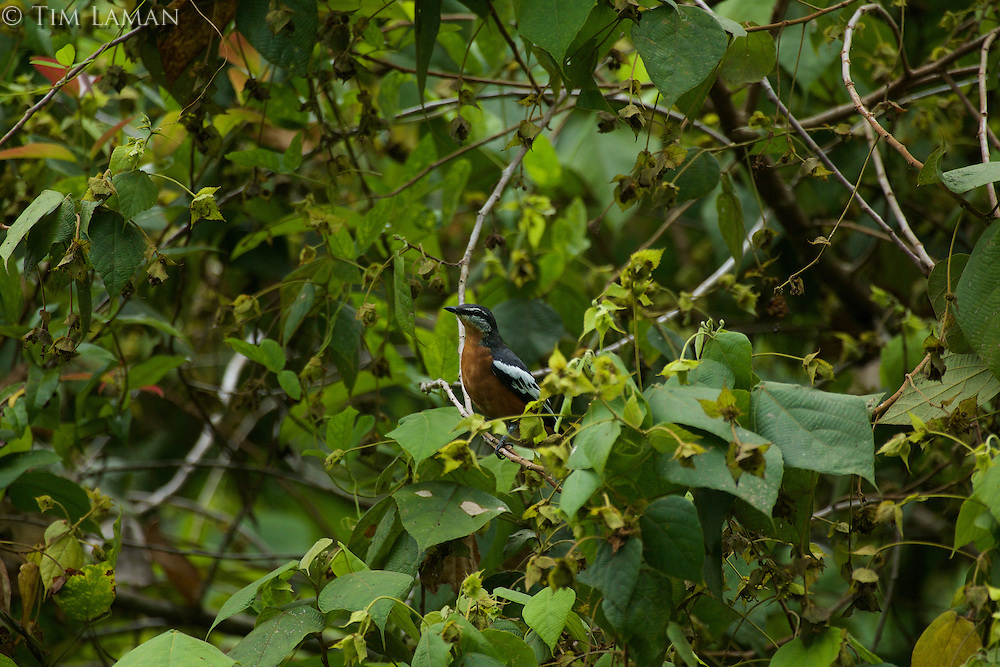 Rufous-bellied Triller (Lalage aurea).<br />Endemic to Halmahera Island, Indonesia.