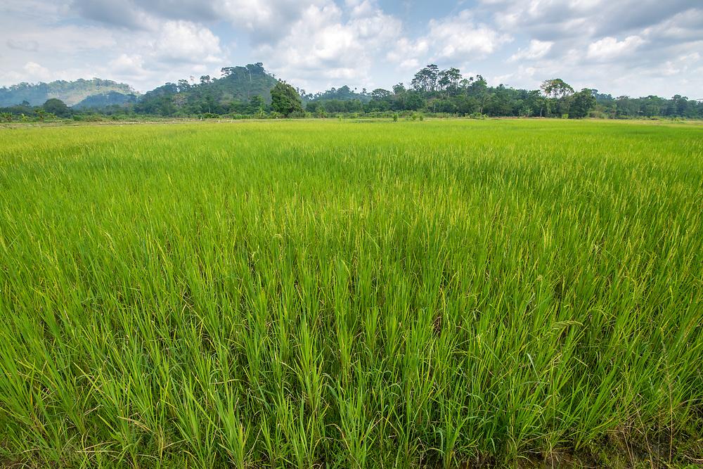 A lush field of African rice (Oryza glaberrima), Gbedin village, Nimba County , Liberia